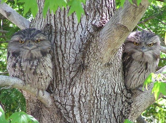 1024px-Tawny_Frogmouth_(Coverdale)