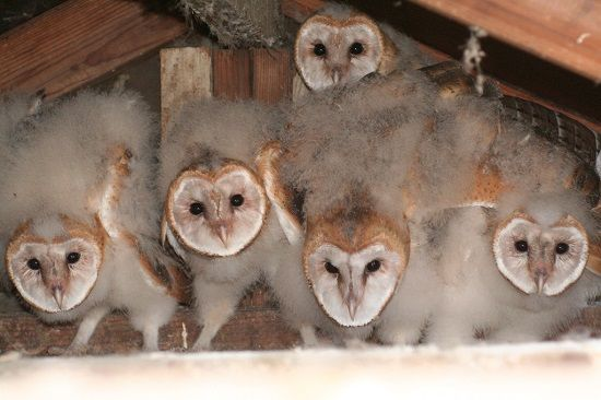 Barn_owl2