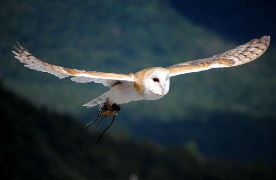 Barn_owl3