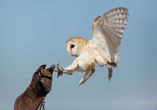 Barn_owl4