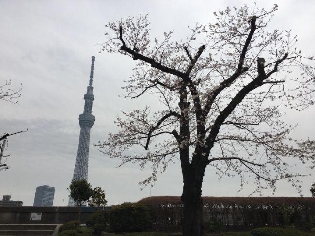 2019年3月26日の隅田公園桜