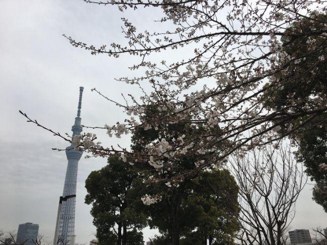 2019年3月26日隅田公園の桜アップ