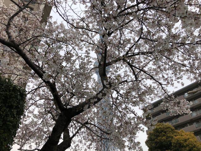 スカイツリー近辺の桜